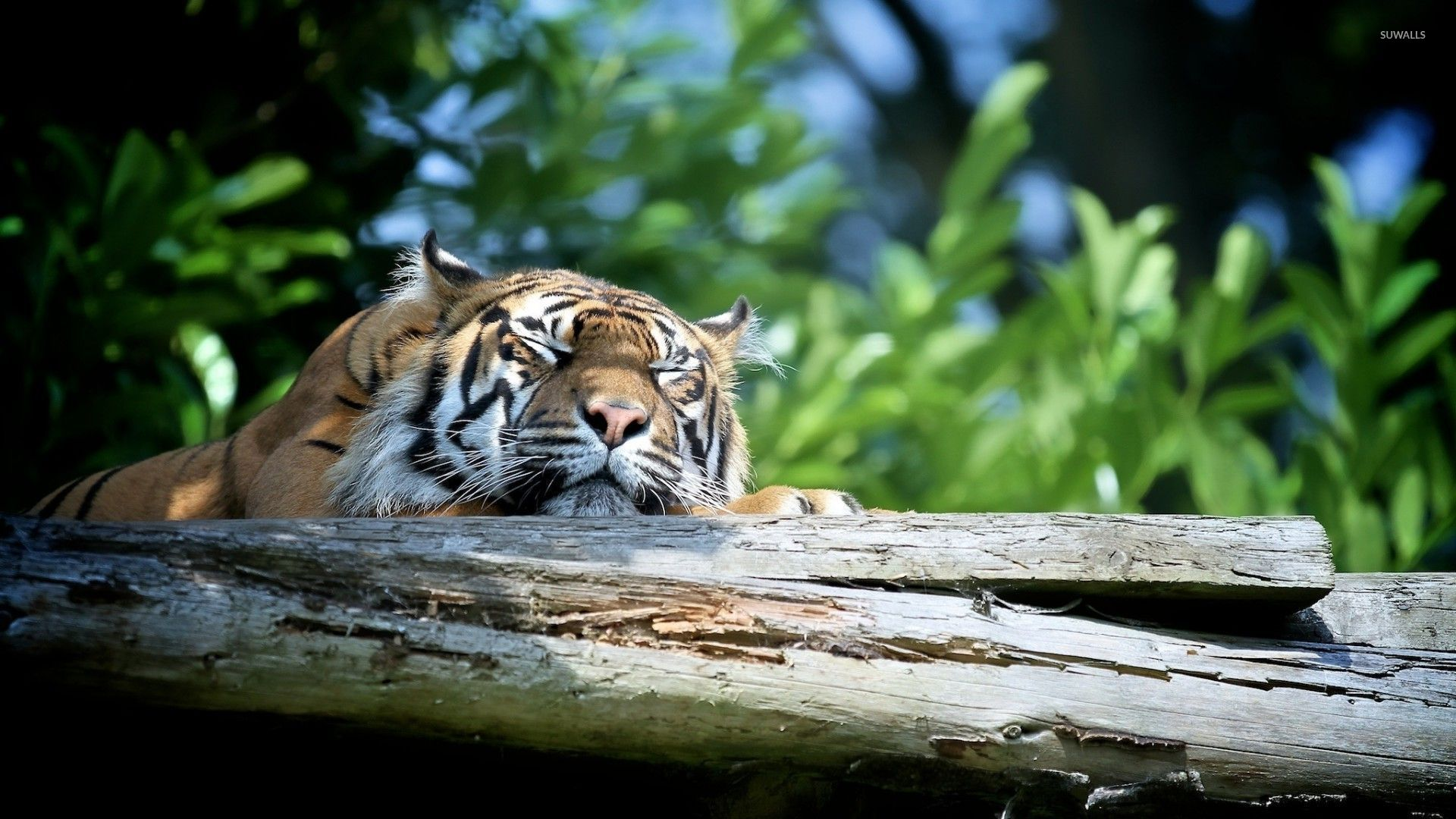 sleeping tiger wallpaper - animal wallpapers - #53227