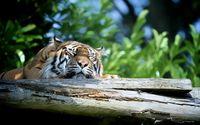 Sleeping tiger wallpaper 1920x1080 jpg