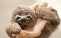 Sloth baby wallpaper 1920x1200 jpg
