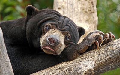 Sloth bear resting on a tree log wallpaper