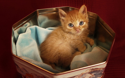 Small ginger kitten in a candy box wallpaper