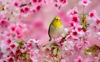 Small yellow bird between the blossoms wallpaper 1920x1200 jpg