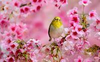 Small yellow bird between the blossoms wallpaper 1920x1200 jpg
