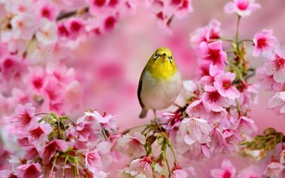 Small yellow bird between the blossoms Wallpaper