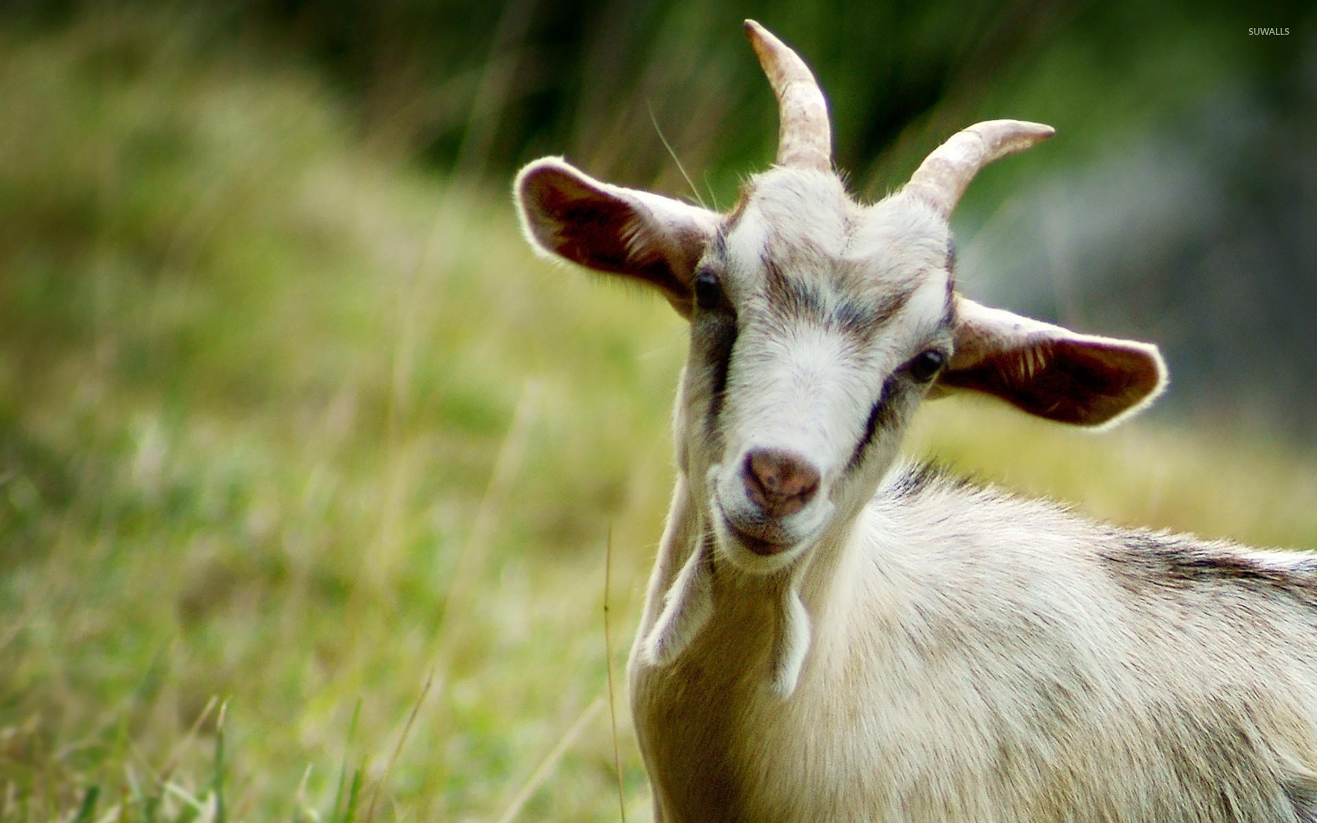 smiling goat wallpaper animal wallpapers 25770