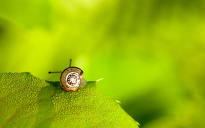 Snail on a wet leaf wallpaper