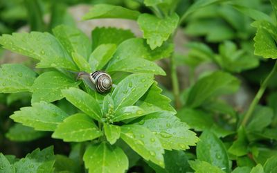 Snail on a wet plant wallpaper