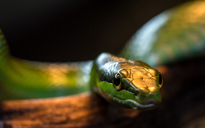 Snake [9] wallpaper