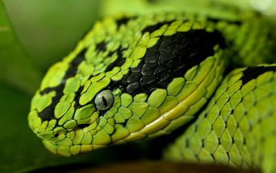 Snake [3] wallpaper