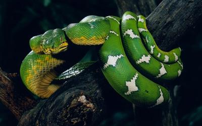 Snake [2] wallpaper