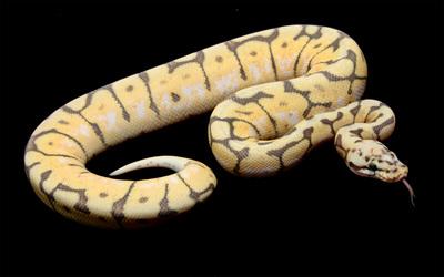 Snake [5] wallpaper