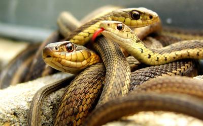 Snake pile wallpaper