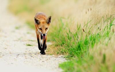 Sneaky fox wallpaper