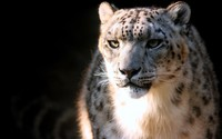 Snow Leopard wallpaper 2560x1600 jpg