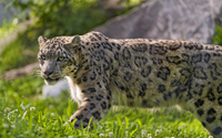 Snow leopard [5] wallpaper 2560x1600 jpg