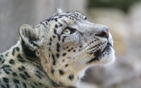 Snow leopard [3] wallpaper 2560x1600 jpg