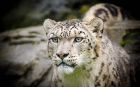 Snow leopard [7] wallpaper 1920x1200 jpg