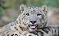 Snow leopard [9] wallpaper 1920x1200 jpg