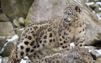 Snow leopard [8] wallpaper 2560x1600 jpg