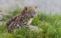 Snow leopard cub wallpaper 2560x1600 jpg