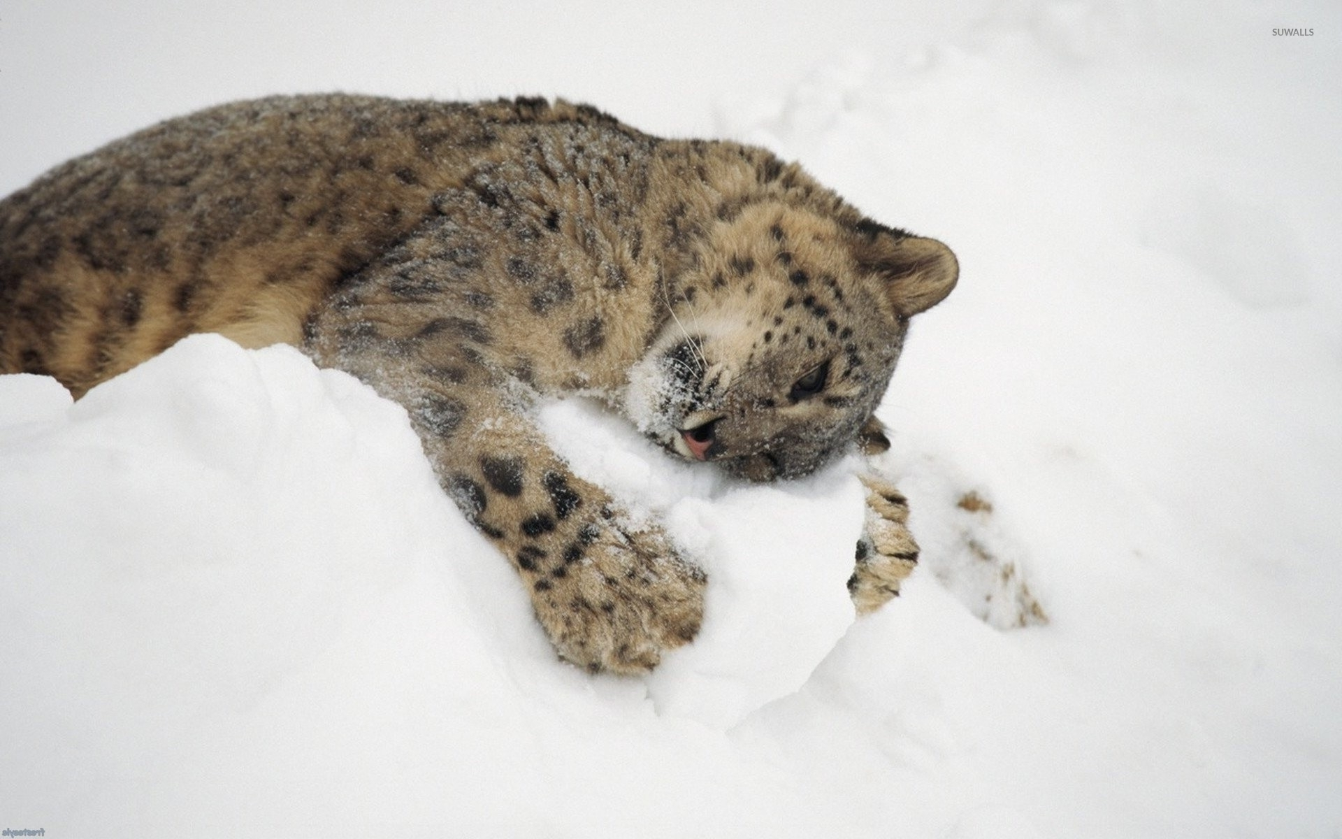 Snow leopard cub playing with snow wallpaper Animal wallpapers
