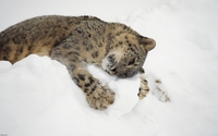 Snow leopard cub playing with snow wallpaper 1920x1200 jpg
