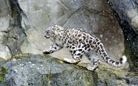 Snow Leopard in the snow wallpaper 2880x1800 jpg