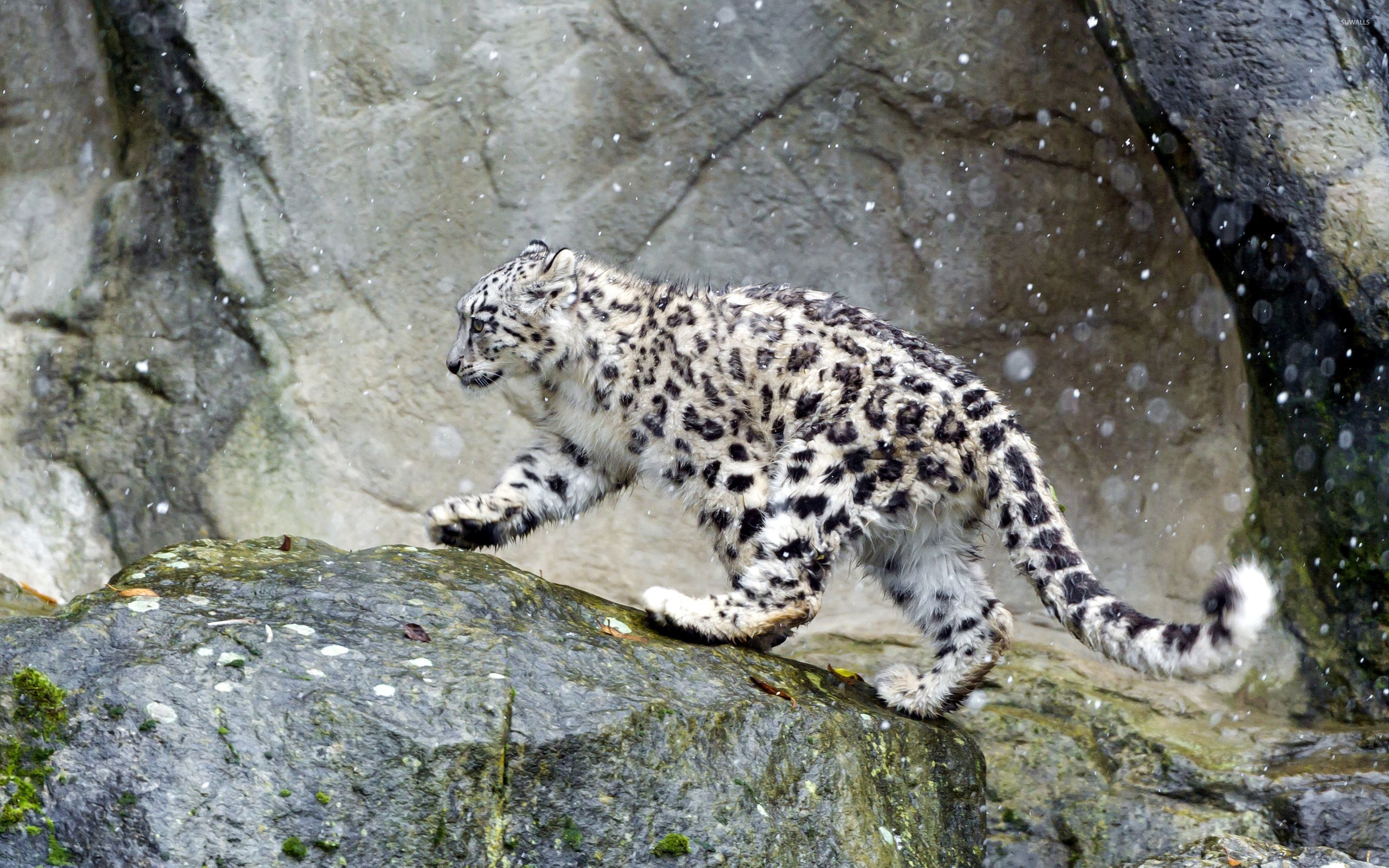 Snow Leopard in the snow wallpaper Animal wallpapers