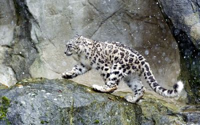 Snow Leopard in the snow Wallpaper