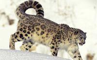 Snow leopard in the snow wallpaper 1920x1200 jpg