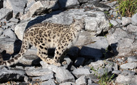 Snow leopard on rocks wallpaper 1920x1080 jpg