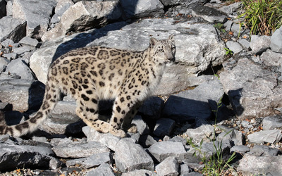 Snow leopard on rocks wallpaper