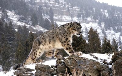Snow Leopard on the snowy rocks wallpaper