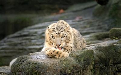 Snow leopard resting on a mossy rock wallpaper