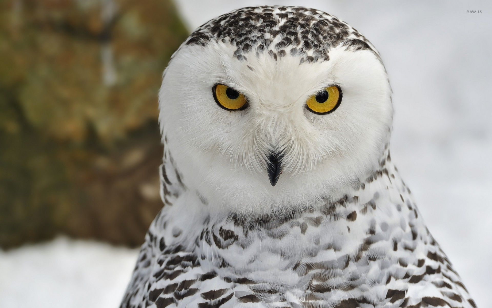 snow owl with yellow eyes wallpaper animal wallpapers