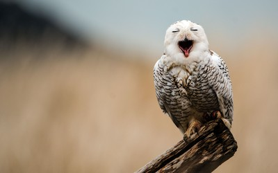 Snowy owl [2] wallpaper
