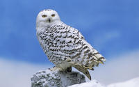 Snowy Owl wallpaper 1920x1200 jpg