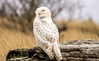 Snowy Owl [4] wallpaper 2560x1600 jpg