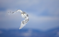 Snowy Owl [3] wallpaper 2560x1600 jpg