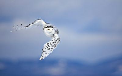Snowy Owl [3] wallpaper