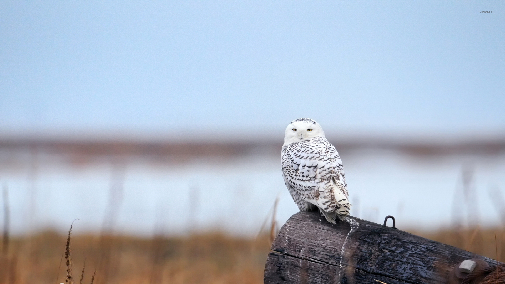 Snowy Owl 9 Wallpaper Animal Wallpapers 42054