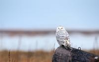 Snowy Owl [9] wallpaper 1920x1080 jpg