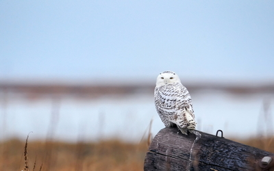 Snowy Owl [9] wallpaper