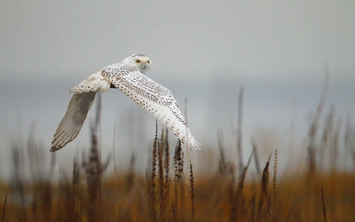 Snowy Owl [8] wallpaper