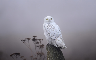 Snowy Owl [5] wallpaper