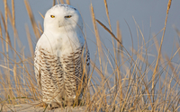Snowy Owl [7] wallpaper 2560x1600 jpg