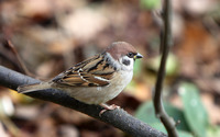 Sparrow [2] wallpaper 1920x1200 jpg