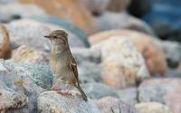 Sparrow [5] wallpaper 2560x1600 jpg