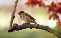 Sparrow wallpaper 2560x1600 jpg