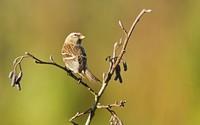 Sparrow on a branch [2] wallpaper 1920x1200 jpg